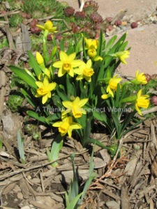 My Baby Daffodils!